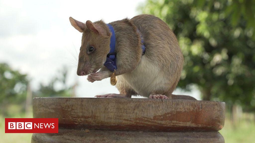 magawa-the-mine-detecting-rat-wins-pdsa-gold-medal