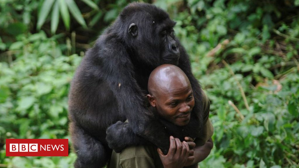 dr-congo's-virunga-national-park:-the-deadly-job-of-protecting-gorillas