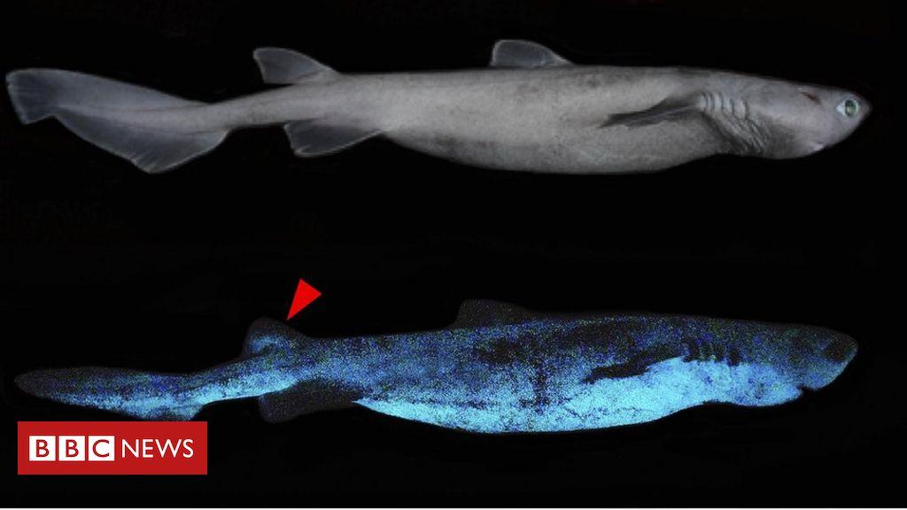 glow-in-the-dark-sharks-found-off-new-zealand-coast