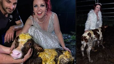 australian-bride-gets-muddy-for-arrival-of-calf-at-wedding