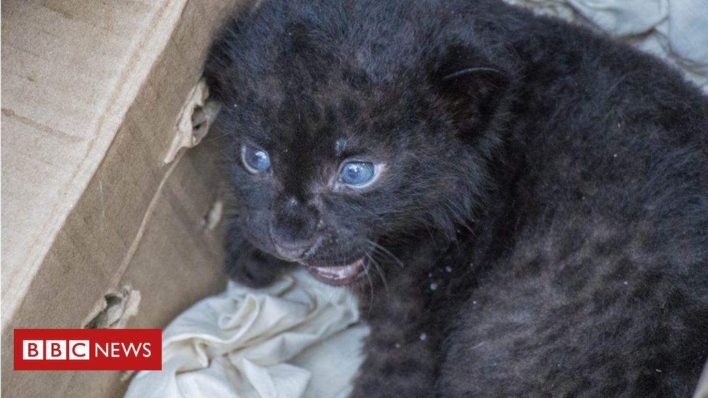 india-wildlife-officials-reunite-leopard-cub-with-mum