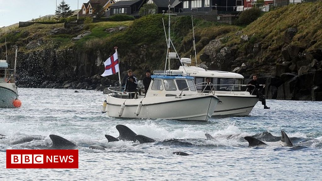 faroe-islands:-anger-over-killing-of-1,400-dolphins-in-one-day