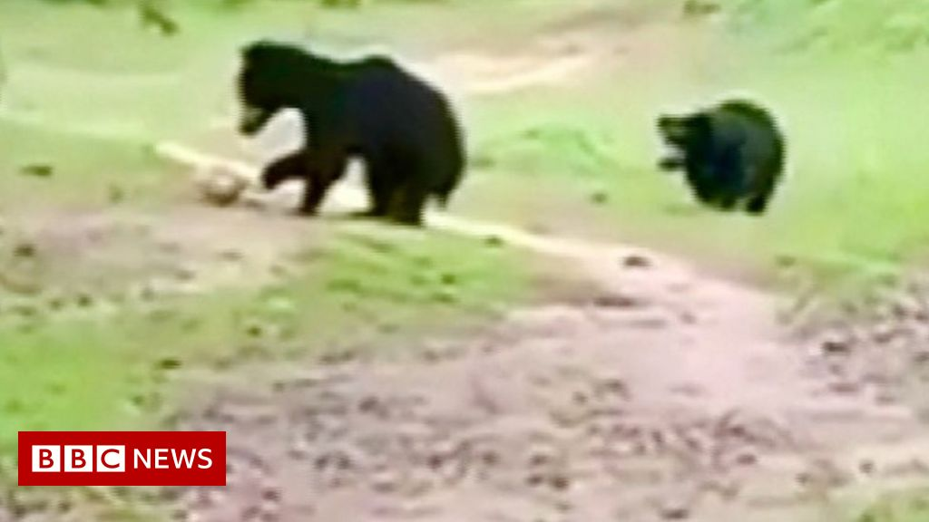 curious-bears-crash-football-game-in-india